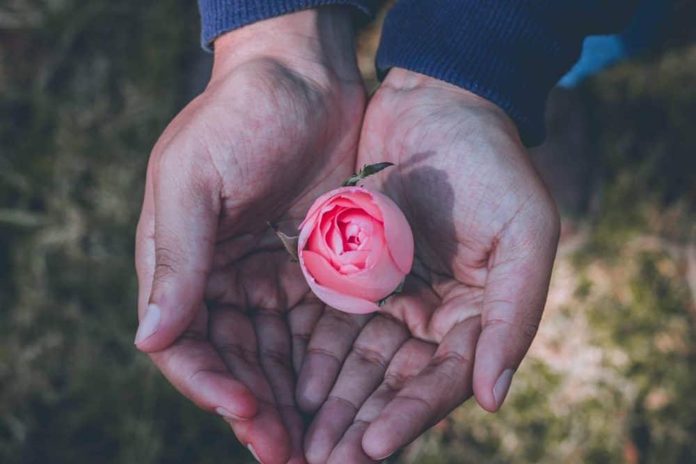 Rosenblüte in Händen