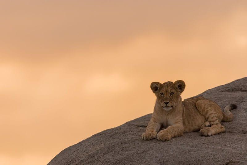 kleiner Löwe liegt auf dem Stein