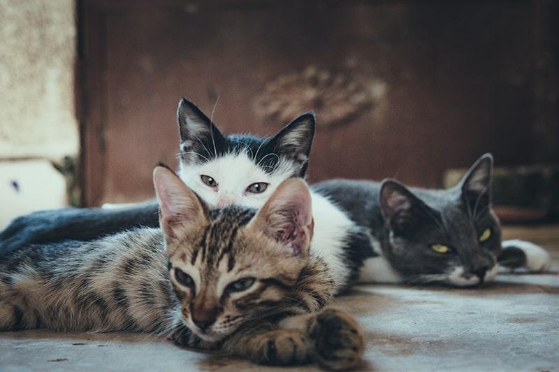 drei Katzen liegen zusammen auf dem Boden