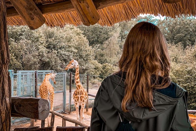 eine Frau, die den Zoo besucht und Giraffen betrachtet