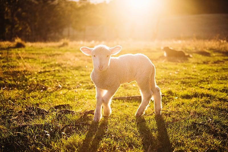 ein Lamm auf der Wiese während des Sonnenuntergangs