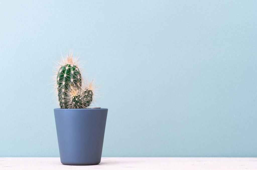 ein kaktus in einem blaue topf